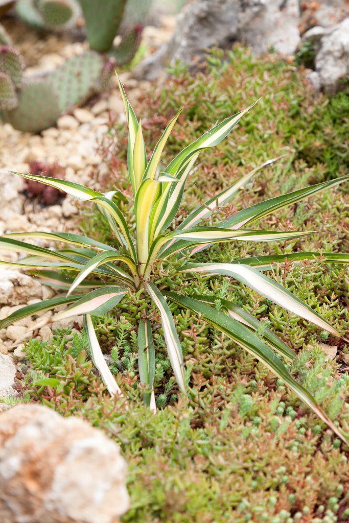 Yucca filamentosa ,Golden Sword'