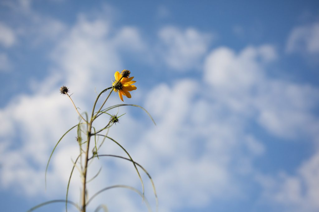 Weidenblättrige Sonnenblume (Helianthus salicifolius)