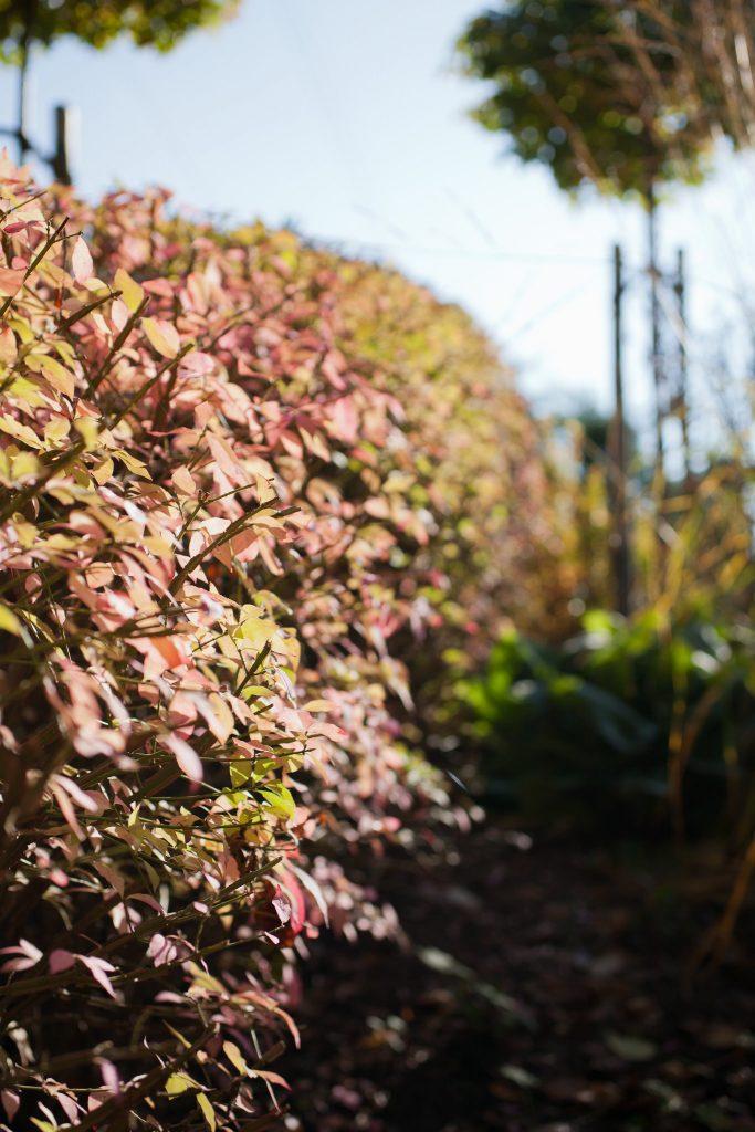 Korkflügelstrauch-Hecke (Euonymus alatus) im Herbst