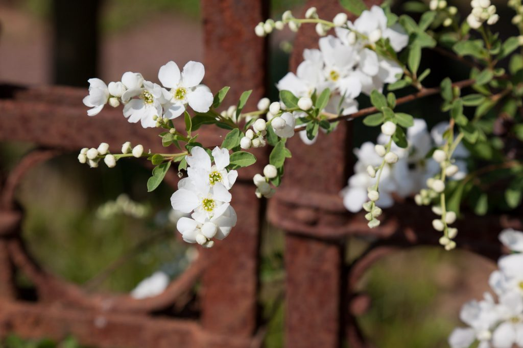 Prunkspiere (Exochorda macrantha 'The Bride')