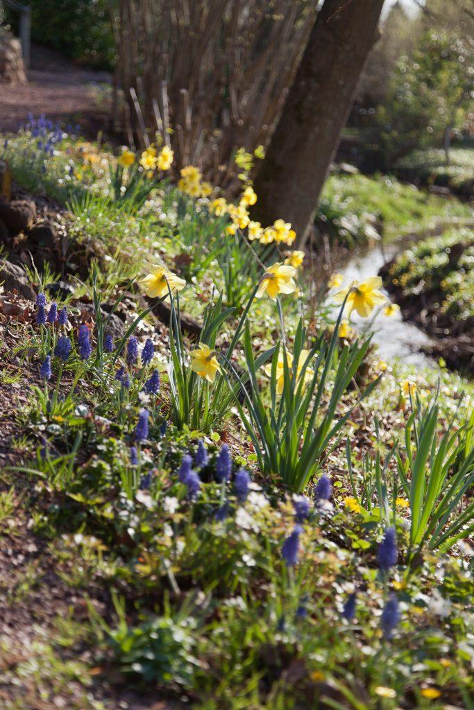 Osterglocken (Narcissus) und Traubenhyazinthen (Muscari)