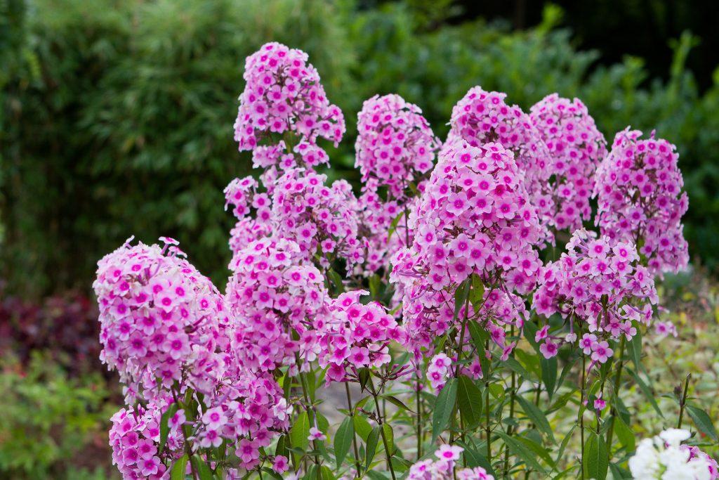 Ein Garten ohne Phlox ist ein Irrtum (Karl Förster)