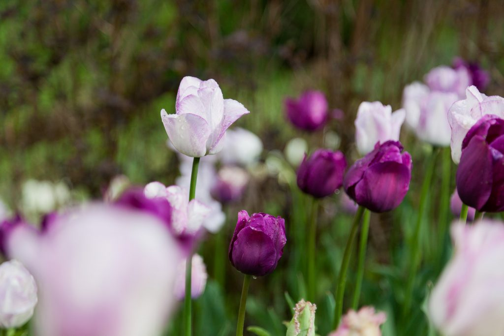 Tulpenblüte im Mai