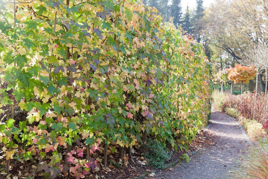 Eine Hecke aus Amberbäumen (Liquidambar styraciflua) mit beginnender Herbstfärbung