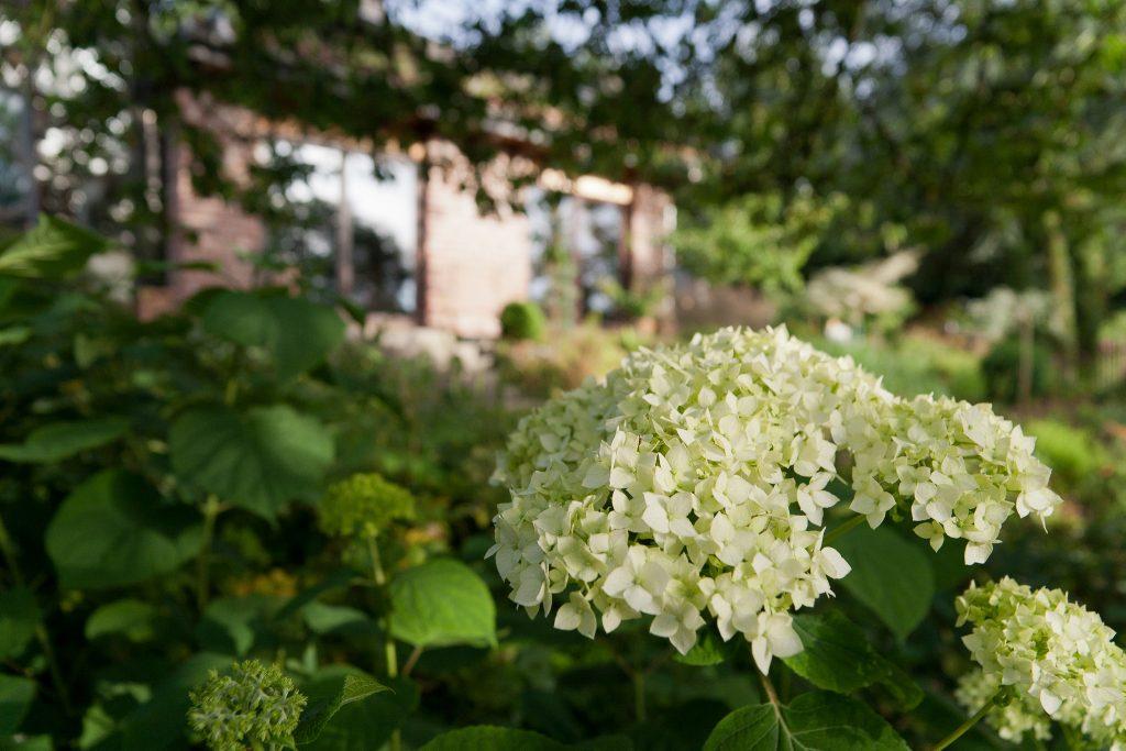 Wald-Hortensie (Hydrangea arborescens Hybride)