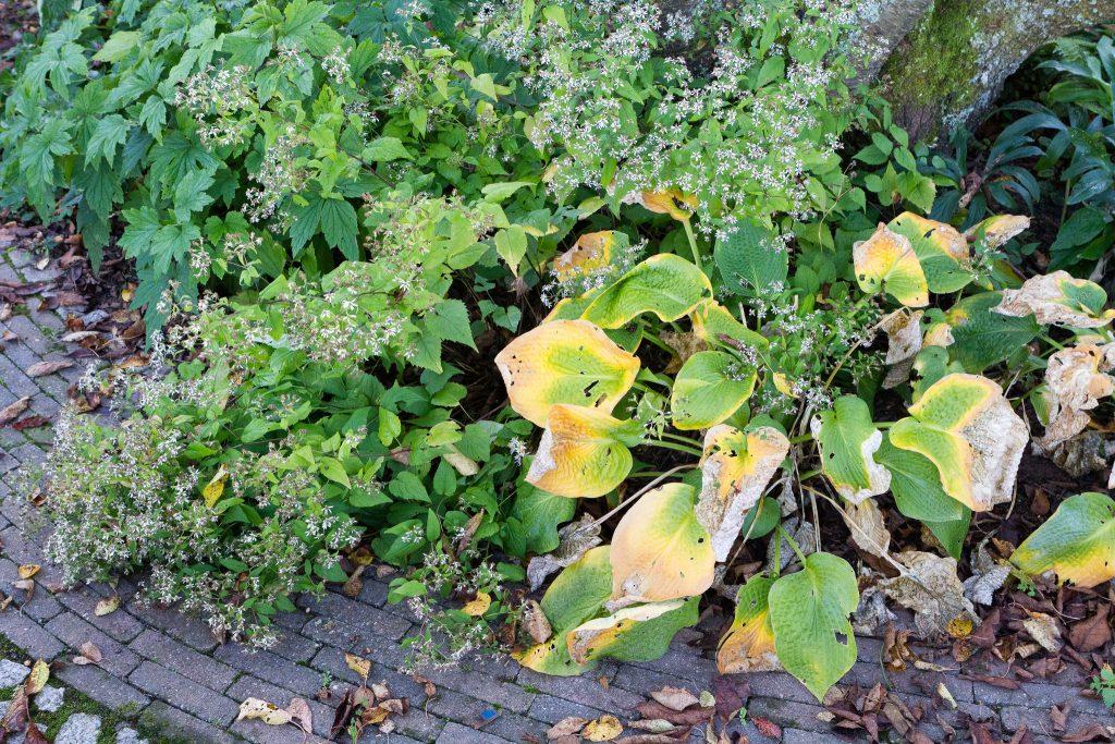 Wald-Astern (Aster divaricatus) und Funkien (Hosta) im Herbs