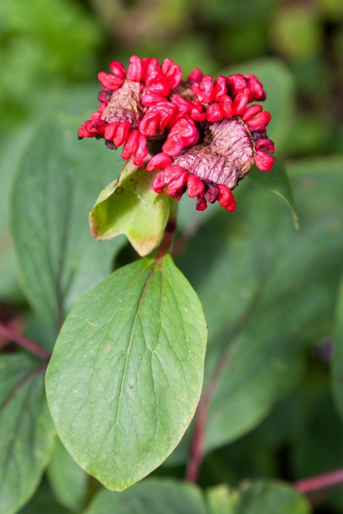 Samenkapseln der Kaukasus-Pfingstrose (Paeonia mlokosewitschii)