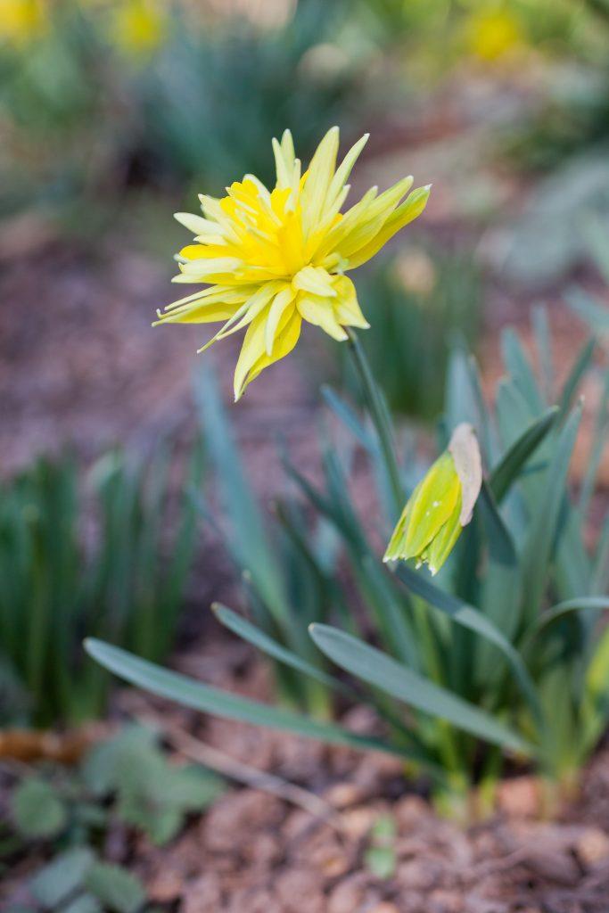 Gefüllte Narzisse (Narcissus 'Rip van Winkle')