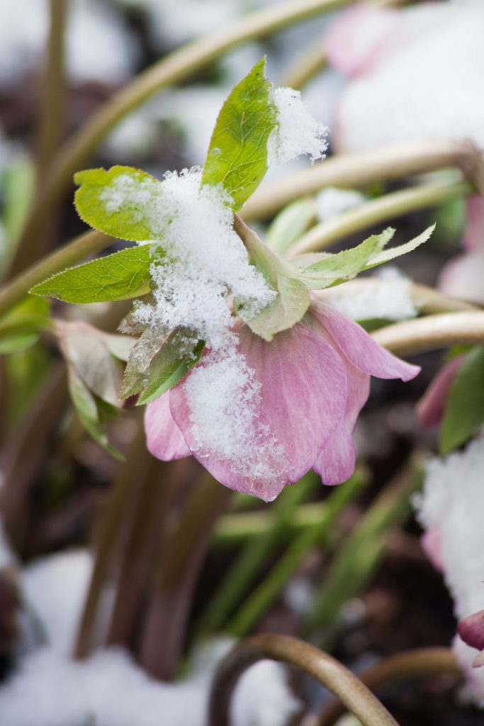 Lenzrose (Helleborus orientalis Hybride)