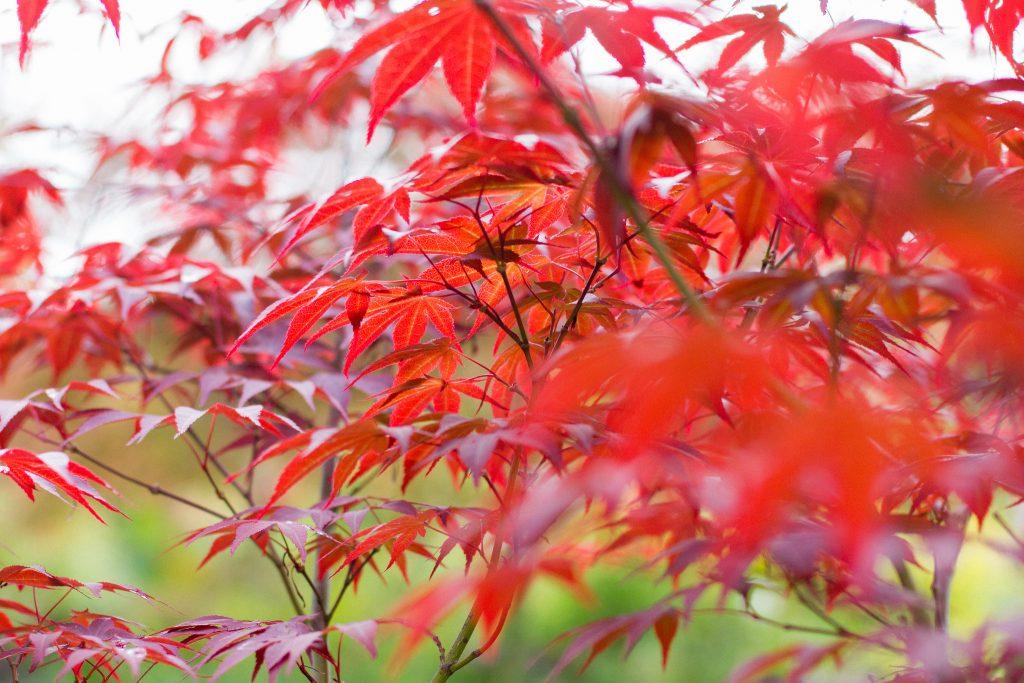 Roter Fächerahorn (Acer palmatum 'Atropurpureum')