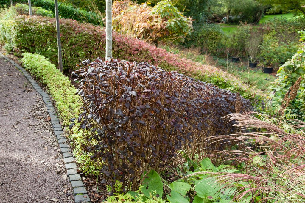 Heckenbänder aus Teufelsstrauch (Physocarpus opulifolius 'Diabolo'), Gelbe Zwergspiere (Spiraea 'Golden Princess') und Korkflügelstrauch (Euonymus alatus)