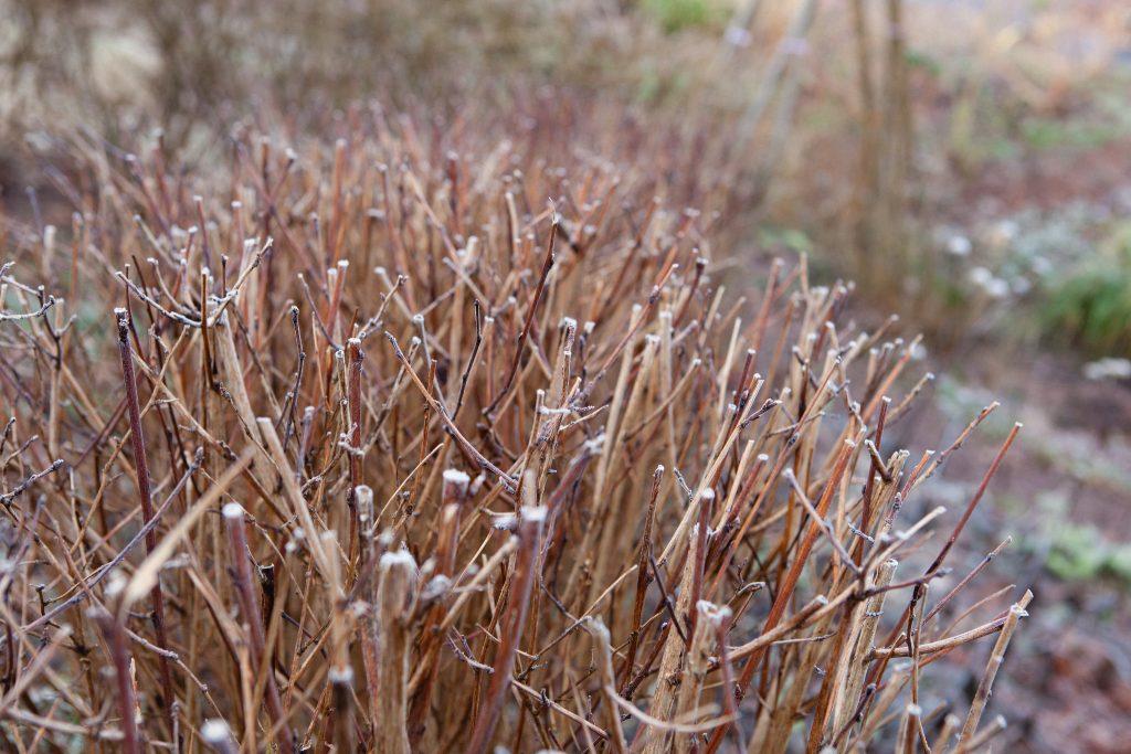 Die Teufelsstrauch-Hecke (Physocarpus opulifolius 'Diabolo') im Winter