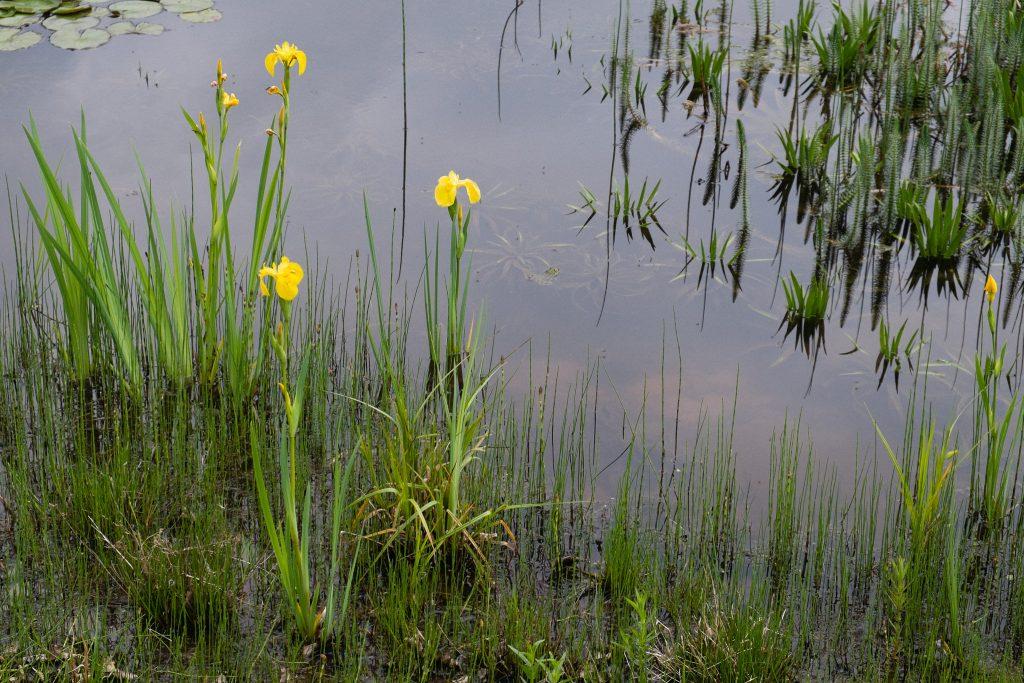 Die Sumpfzone mit Sumpfschwertlilien (Iris pseudacorus) und Sumpf-Schachtelhalm (Equisetum palustre)