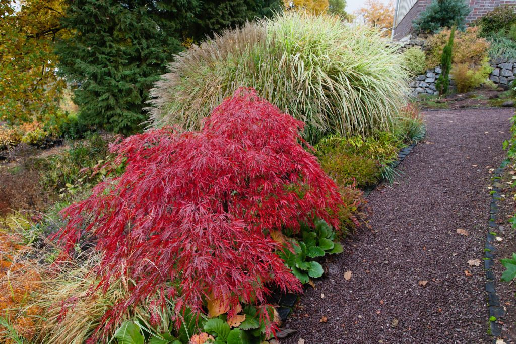 Herbstfärbung eines roten Schlitzahorns (Acer palmatum 'Garnet')