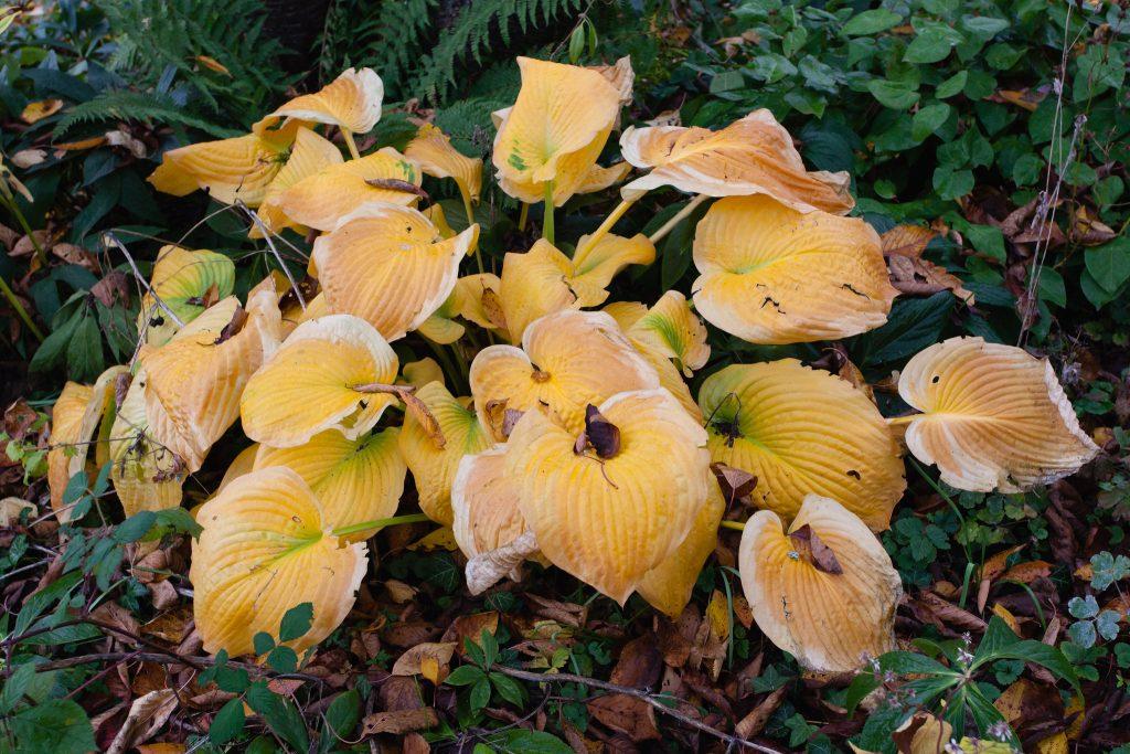 Herbstlaub einer Funkie (Hosta)