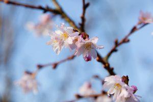 Winterkirsche (Prunus subhirtella 'Autumnalis')