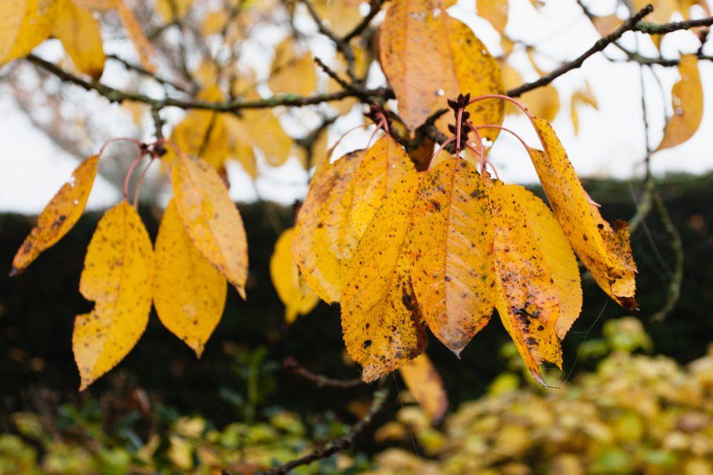 Im November verfärbt sich das Laub des Kirschbaums goldgelb.