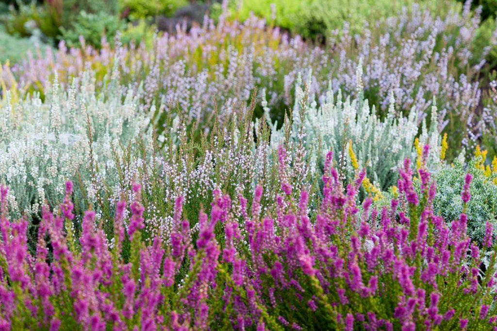 Blühende Heidevielfalt