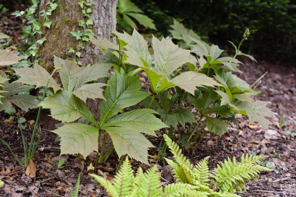 Garten-Schaublatt (Rodgersia podophylla 'Rotlaub')