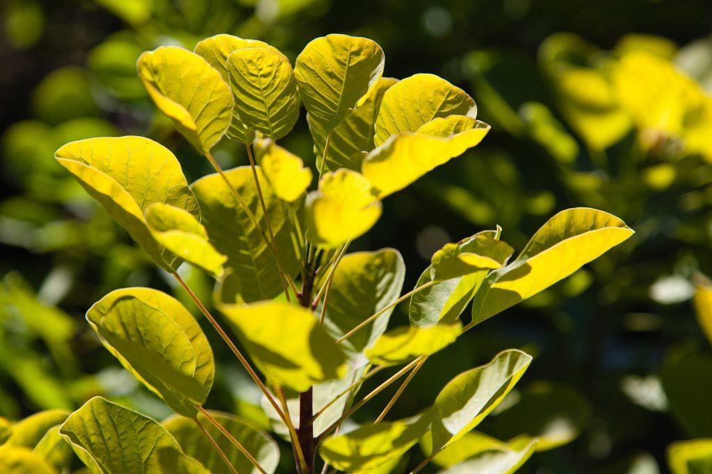 Gold-Perückenstrauch (Cotinus coggygria Golden Spirit®)