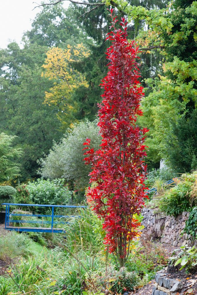 Sensationelle Herbstfärbung der Säulenförmigen Sumpf-Eiche (Quercus palustris 'Green Pillar')