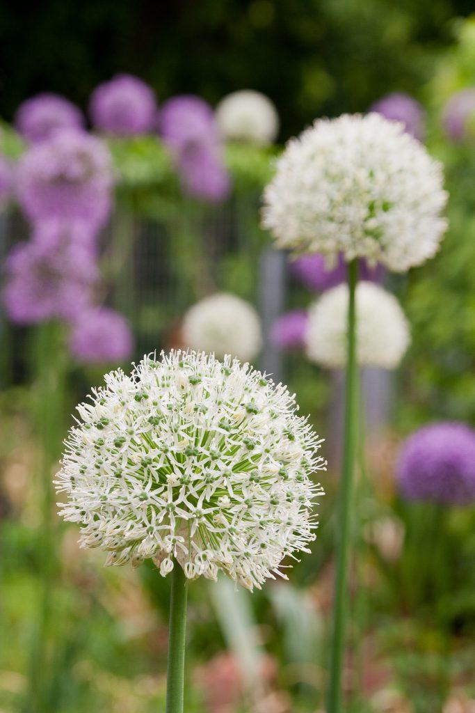 Das weiße Allium: 'Mount Everest'
