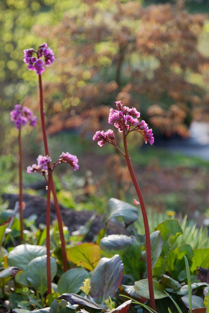 Robuster immergrüner Frühjahrsblüher: Bergenia Hybride 'Admiral' (Bergenie)