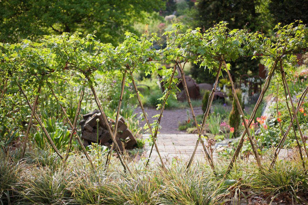 Ein lebender Zaun aus Liquidambar styraciflua (Amerikanischer Amberbaum) ist unterpflanzt mit Carex morrowii 'Ice Dance' (Immergrüne Japansegge).