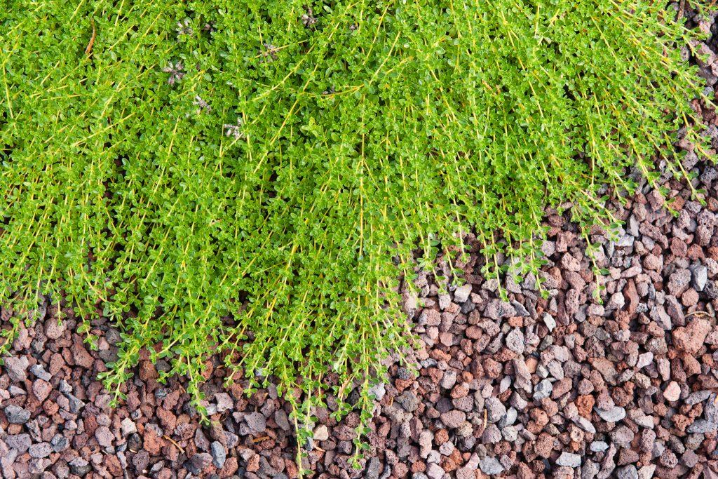 Sand-Thymian (Thymus serpyllum 'Snowdrift')