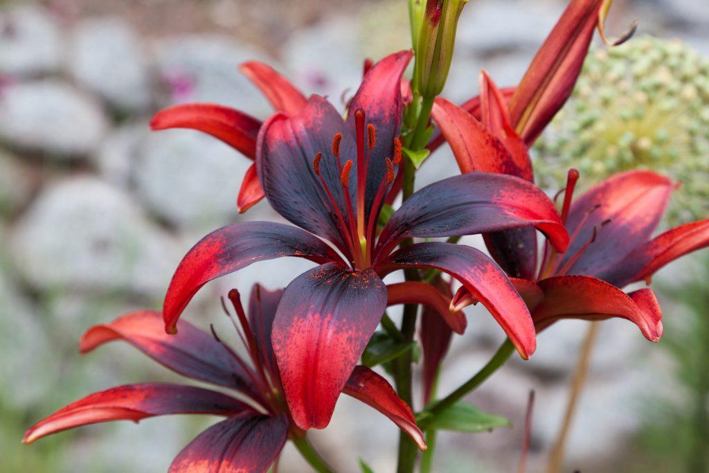 Lilie (Lilium Hybride)