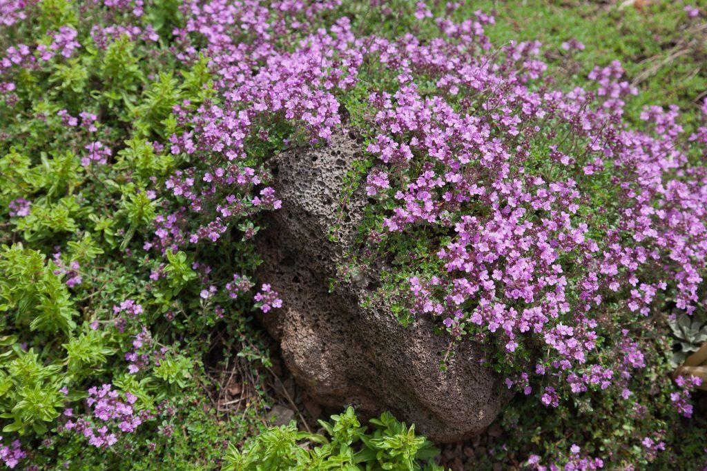 Sand-Thymian (Thymus serpyllum 'Coccineus')