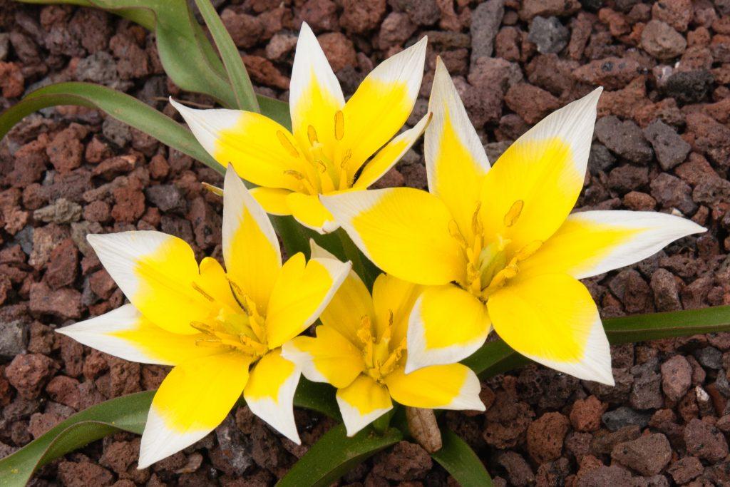 Tarda-Tulpe (Tulipa tarda)