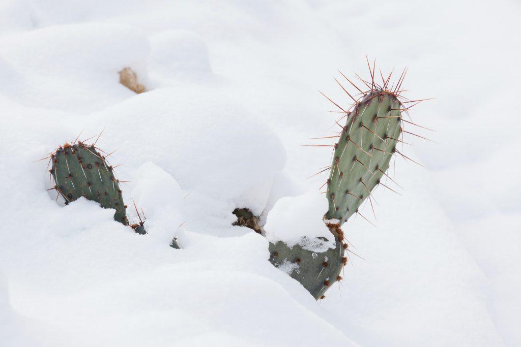 Winterharter Feigenkaktus (Opuntia)