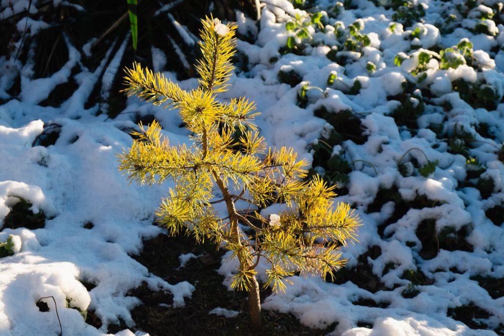 Wintergelbe Zwergbergkiefer (Pinus mugo 'Carstens Wintergold')
