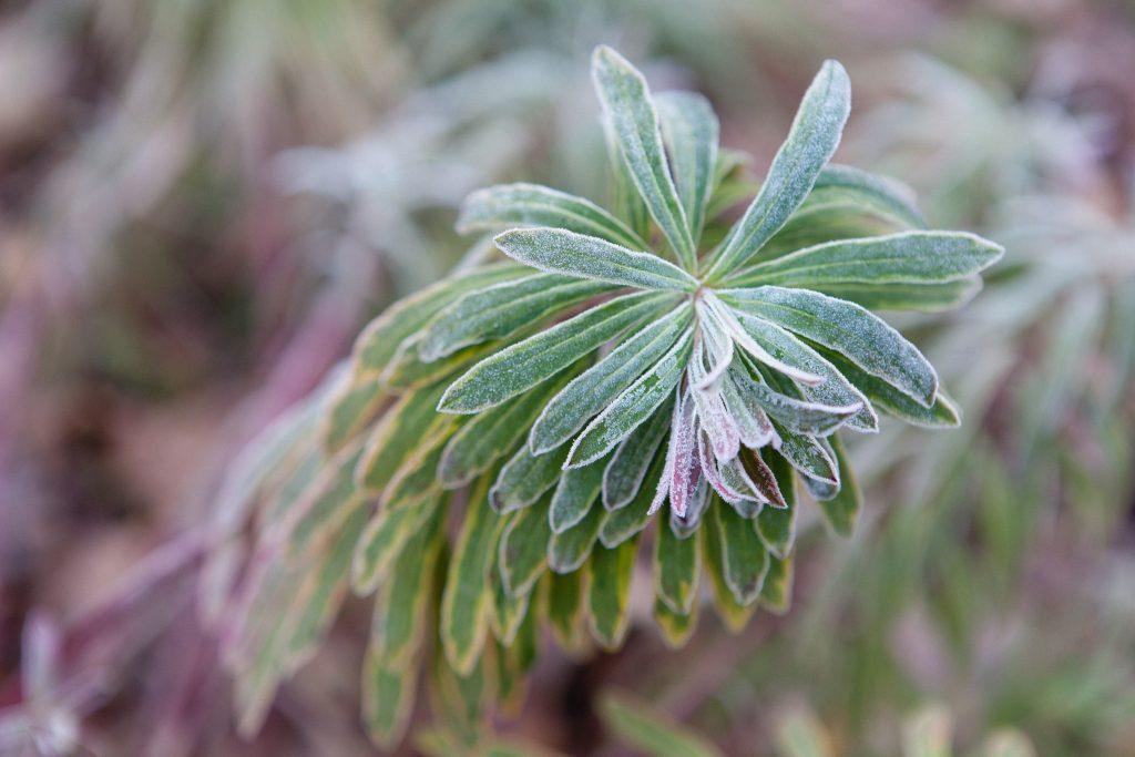 Wolfsmilch (Euphorbia)