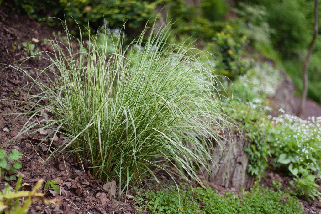 Molinia caerulea 'Variegata' (Gestreiftes Garten-Pfeifengras)