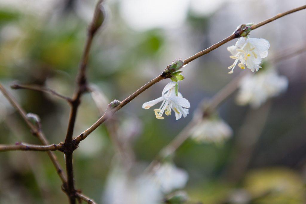 Winter-Heckenkirsche (Lonicera x purpupsii)