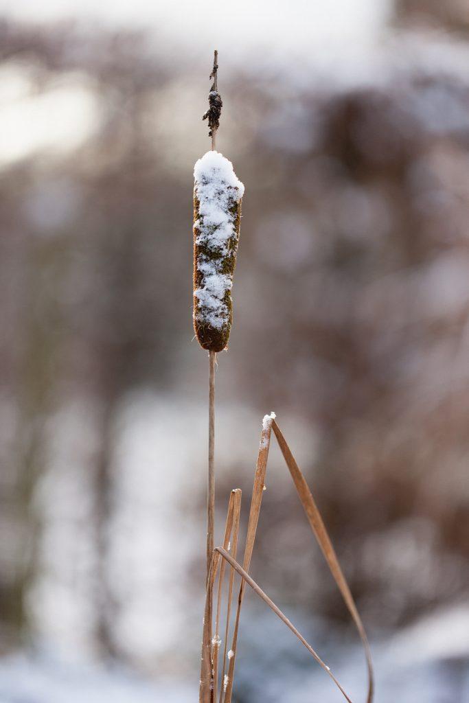 Zwerg-Rohrkolben (Typha minima)