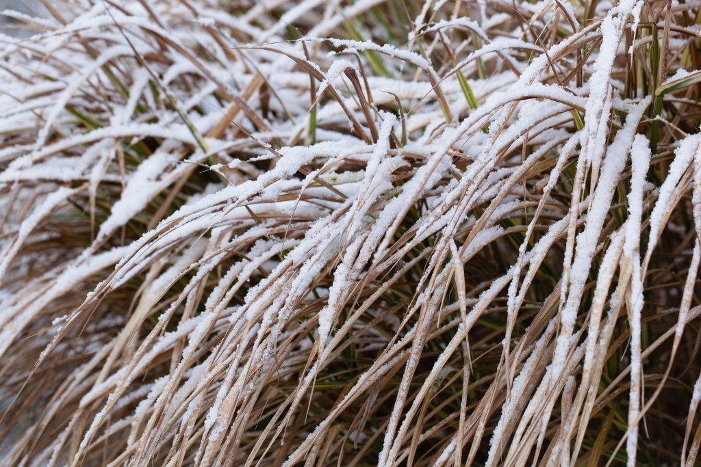 Schnee auf dem Weißbunten Chinaschilf (Miscanthus sinensis 'Variegatus') im Garten der Rosalie