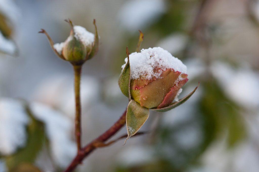 Schnee auf den Blütenknospen einer Rose