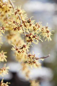 Hamamelis japonica 'Pendula'