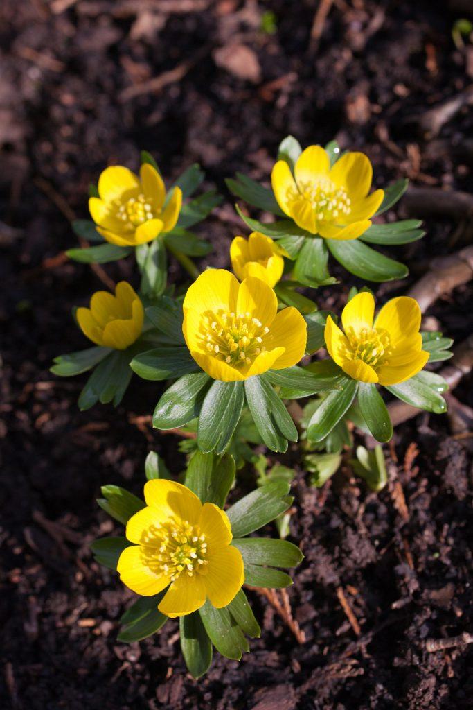 Winterlinge (Eranthis hyemalis) in unserem Waldgarten