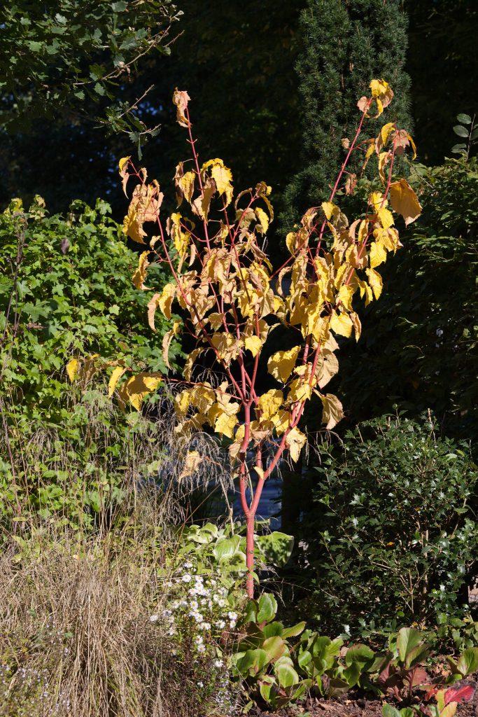 Rotrindiger Streifenahorn (Acer conspicuum 'Phoenix') im Herbst