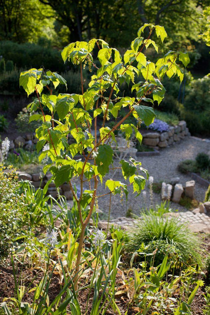Rotrindiger Streifenahorn (Acer conspicuum 'Phoenix')