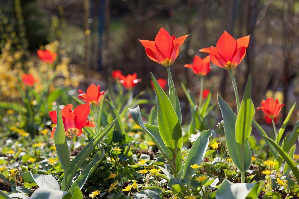 Seerosen-Tulpen (Tulipa kaufmanniana 'Scarlet Baby')
