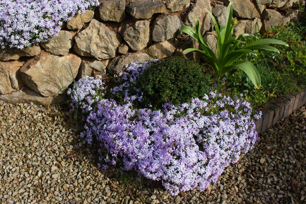Teppich-Flammenblume (Phlox subulata 'Emerald Cushion Blue')