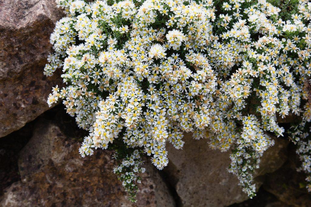 Teppich-Myrten-Aster (Aster ericoides 'Snow Flurry')