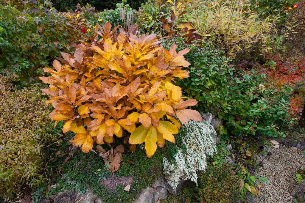 Armenische Eiche (Quercus pontica) im Herbst