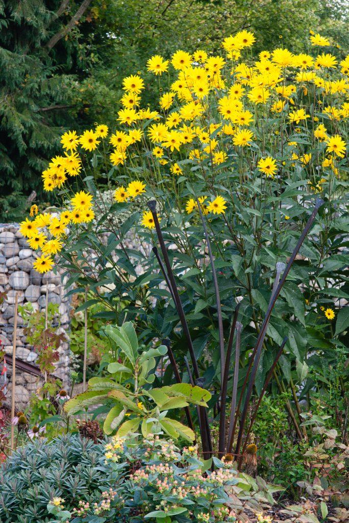 Staudensonnenblume (Helianthus atrorubens)