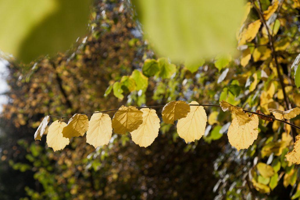 Herbstlaub der Haselnuss-Sträucher (Corylus avellana)